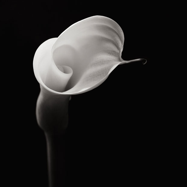 Robert Mapplethorpe - flower