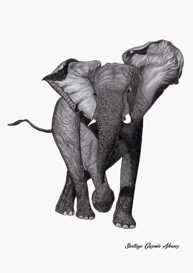 Mención Especial – Elefante africano