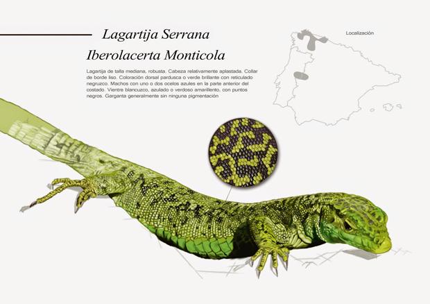 Lagartija Serrana – Ganadores de los Premios de Ilustración Científica 'Il·lustraciència'