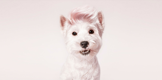 fotógrafo de mascotas – Santos-Roman – West Highland white terrier