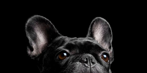 Santos Román – fotografía de perros bulldog francés