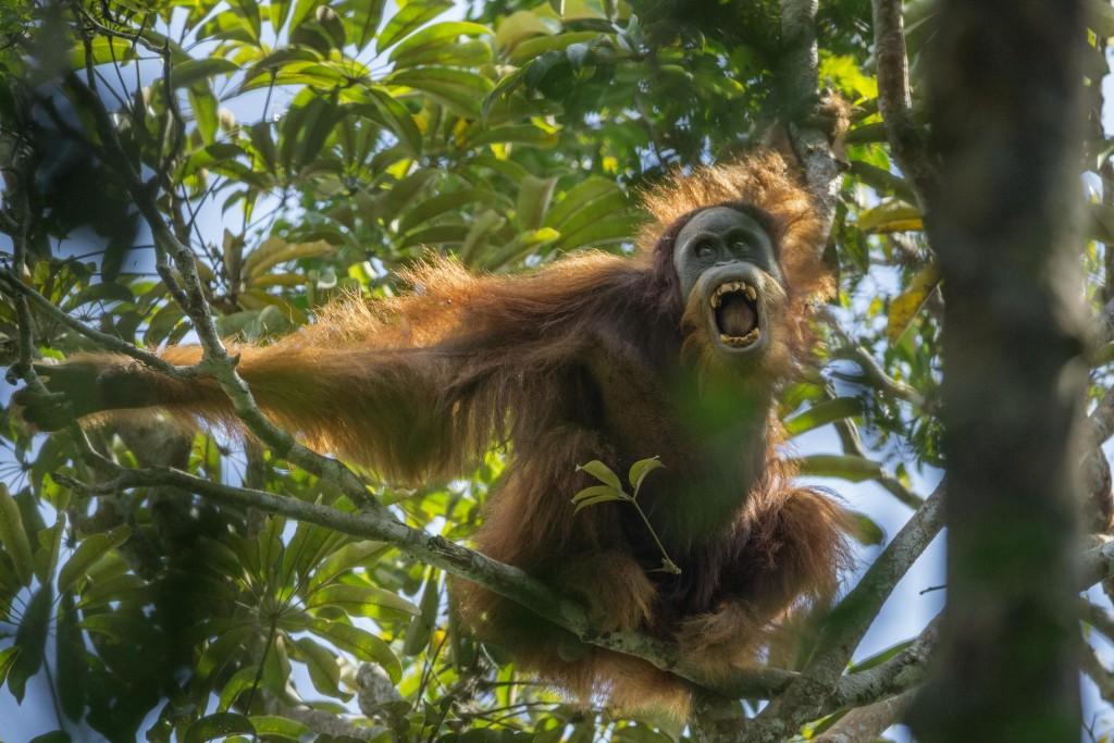 Tough Times for Orangutans, por Tim Laman. Primer premio en la categoría de Naturaleza - Historias.