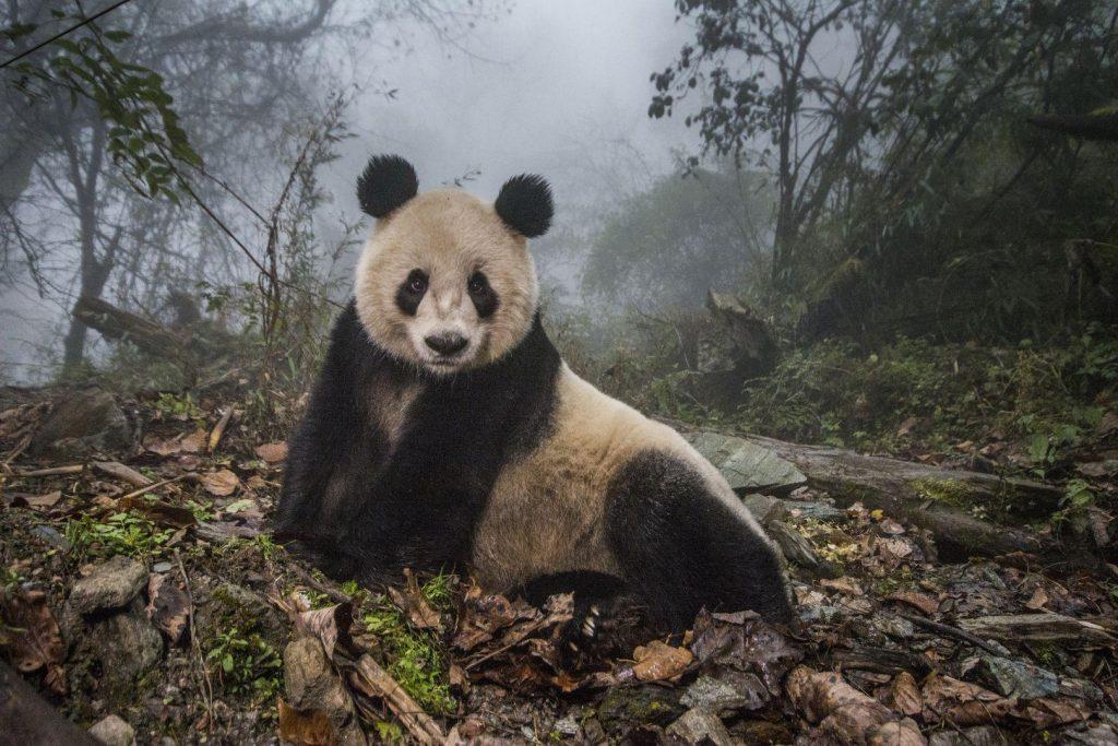 Ami Vitale (USA) por Pandas Gone Wild