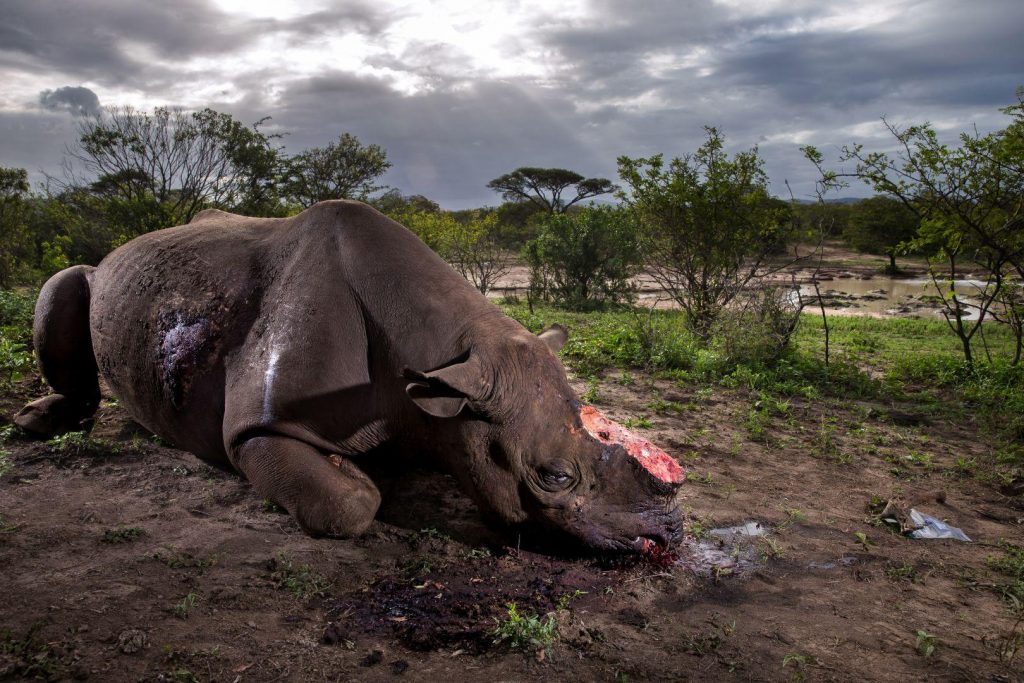 Brent Stirton (Sud África) por Rhino Wars