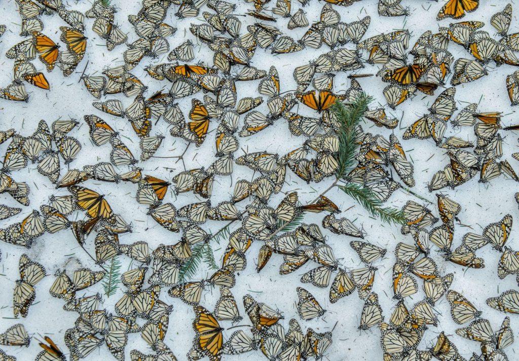 Jaime Rojo (España) por Monarchs in the Snow