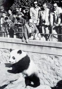 Fotografía real del panda Chi-Chi.