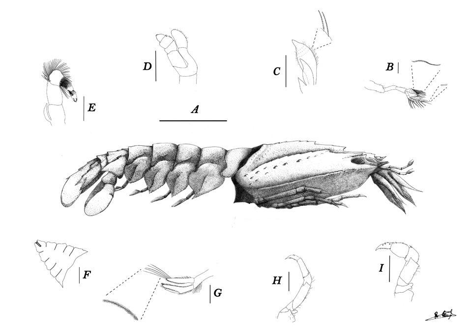 Nisto of slipper Lobster - Rebeca Genis Armero  Técnica: Delineado y puntillismo. Construcción de la placa por programa digital.  Categoría: Ilustración científica.