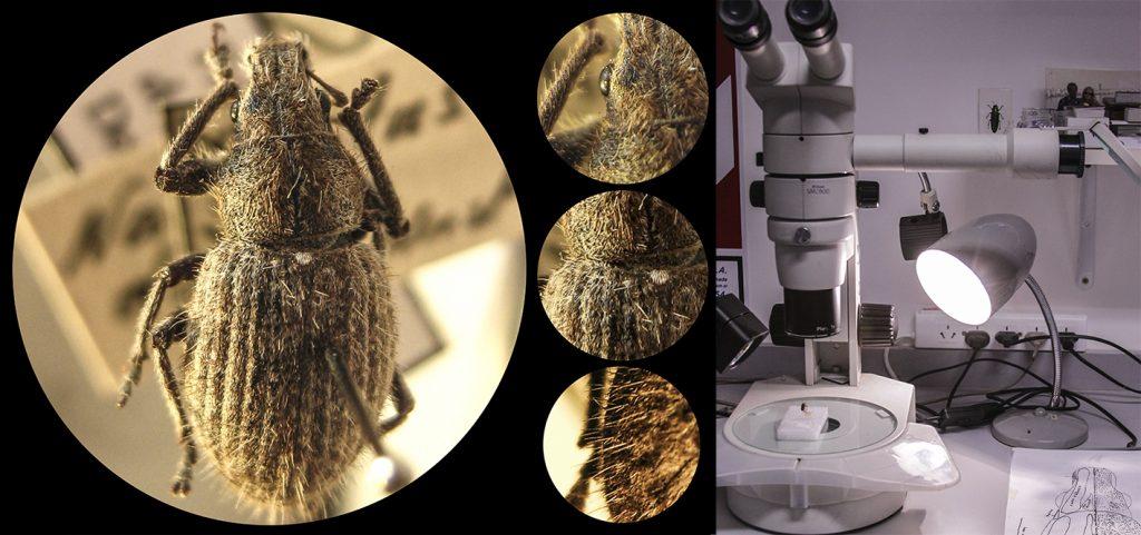 Entomología naupactus densios