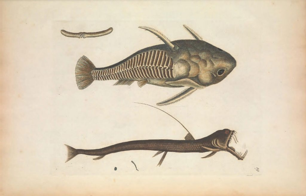 La Biblioteca del Patrimonio para la Biodiversidad ofrece más de 150.000 ilustraciones científicas de descarga libre. Imágenes de peces.