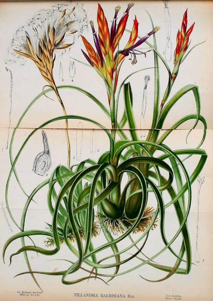La Biblioteca del Patrimonio para la Biodiversidad ofrece más de 150.000 ilustraciones científicas de descarga libre. Plantas de colores.