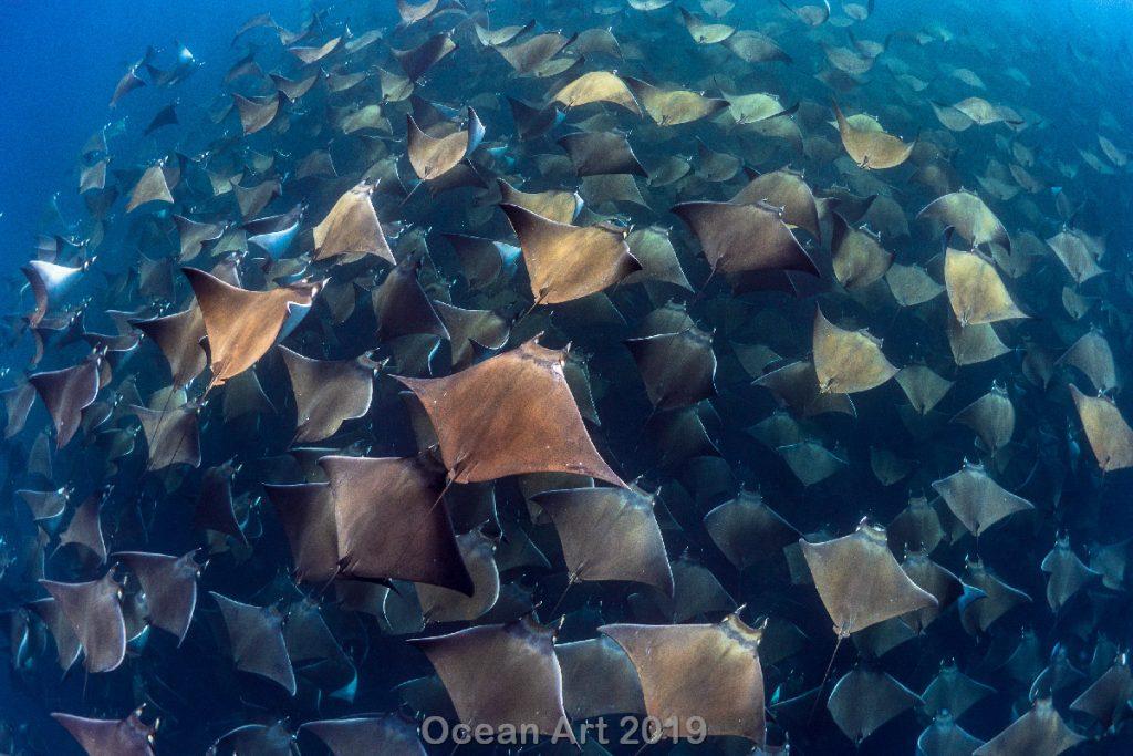 Estas imágenes son las ganadoras del concurso de fotografía submarina de 'Ocean Art'. Conjunto de mantas.