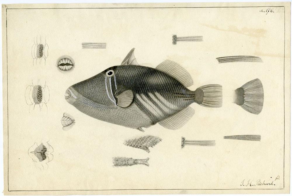 Más de 2 millones de imágenes históricas gratis cedidas por el Smithsonian - ilustración científica pez