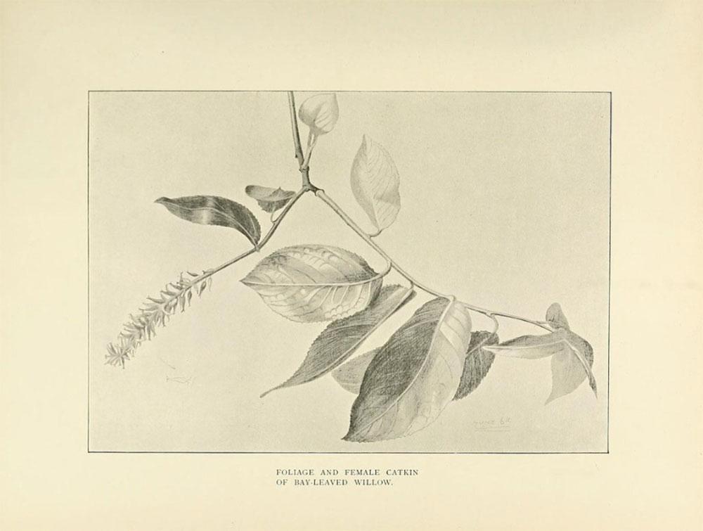La Biblioteca del Patrimonio para la Biodiversidad ofrece más de 150.000 ilustraciones científicas de descarga libre. Plantas color sepia.