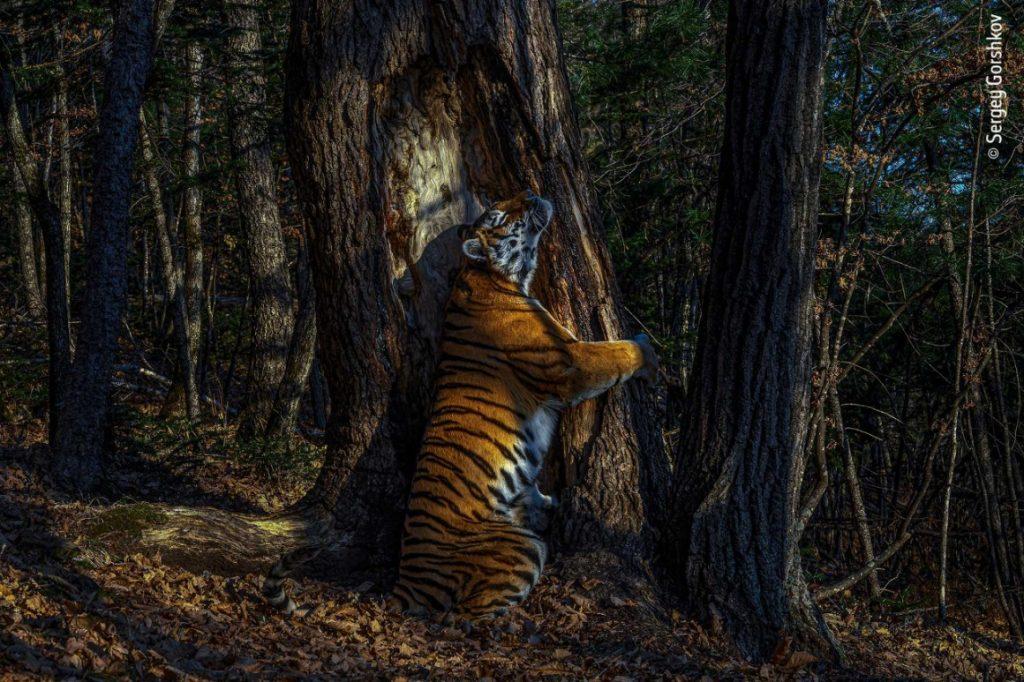 Las mejores fotografías de naturaleza de Wildlife Photographer of the Year 2020 - 'The Embrace', de Sergey Gorshkov