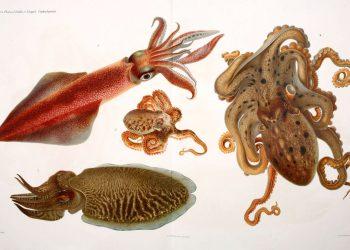 I Cefalopodi viventi nel Golfo di Napoli (sistematica) Berlin :R. Friedländer & Sohn,1896. http://biodiversitylibrary.org/item/109846
